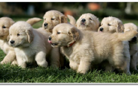 Očkovanie psov proti besnote