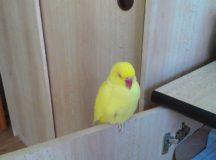 Stratil sa žltý Alexander malý
