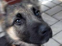 Našla sa fenka nemeckého ovčiaka – aktualizácia oznamu: majiteľ sa už prihlásil